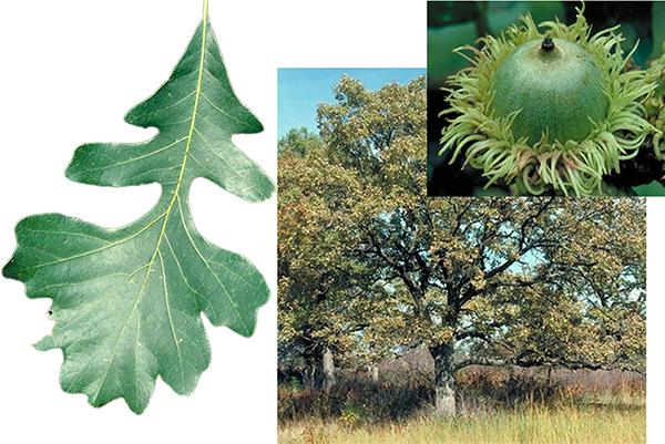 Tree - Bur Oak
