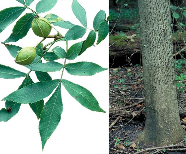 Tree - Bitternut Hickory