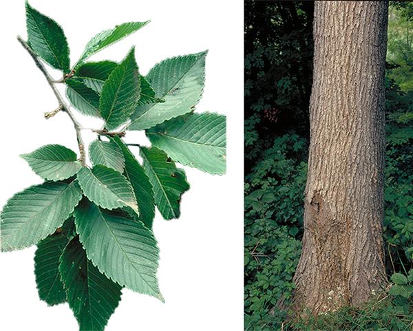 Tree - American Elm