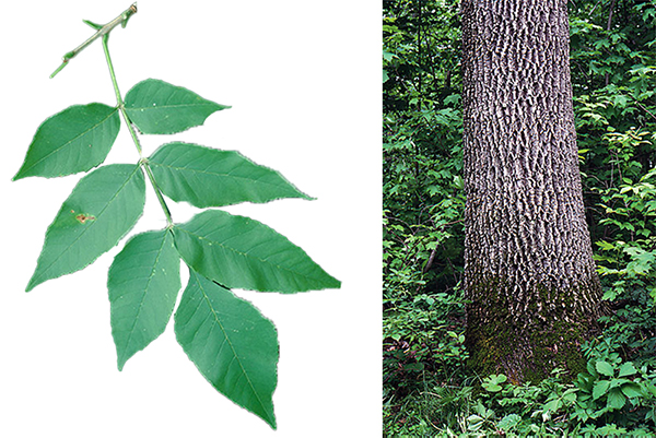 Tree - Green Ash