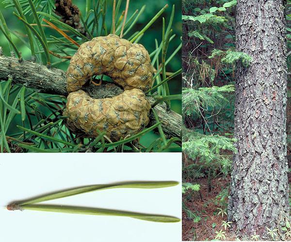 Tree - Jack Pine