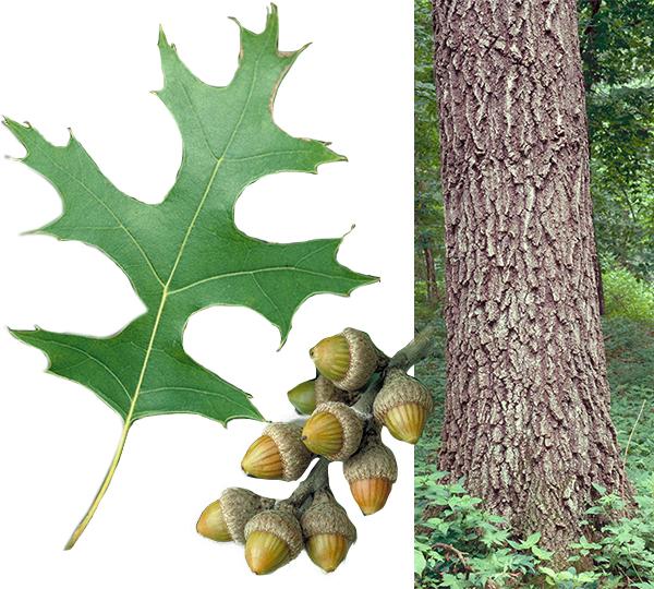 Oak leaf, acorns and trunk of pin oak tree