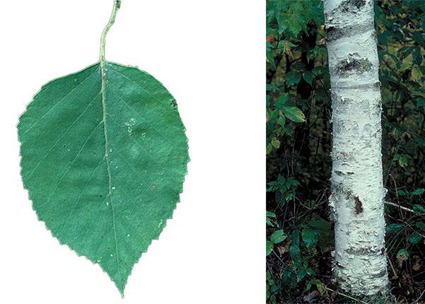 Tree - Paper Birch