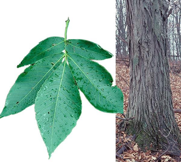 Tree - Shagbark Hickory