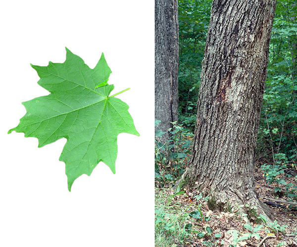 Tree - Sugar Maple