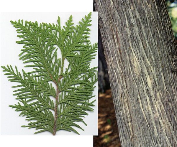 Tree - White Cedar