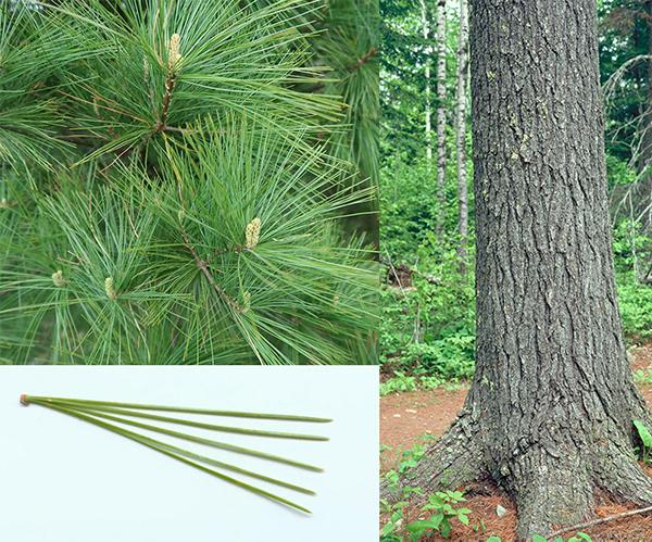 Tree - White Pine