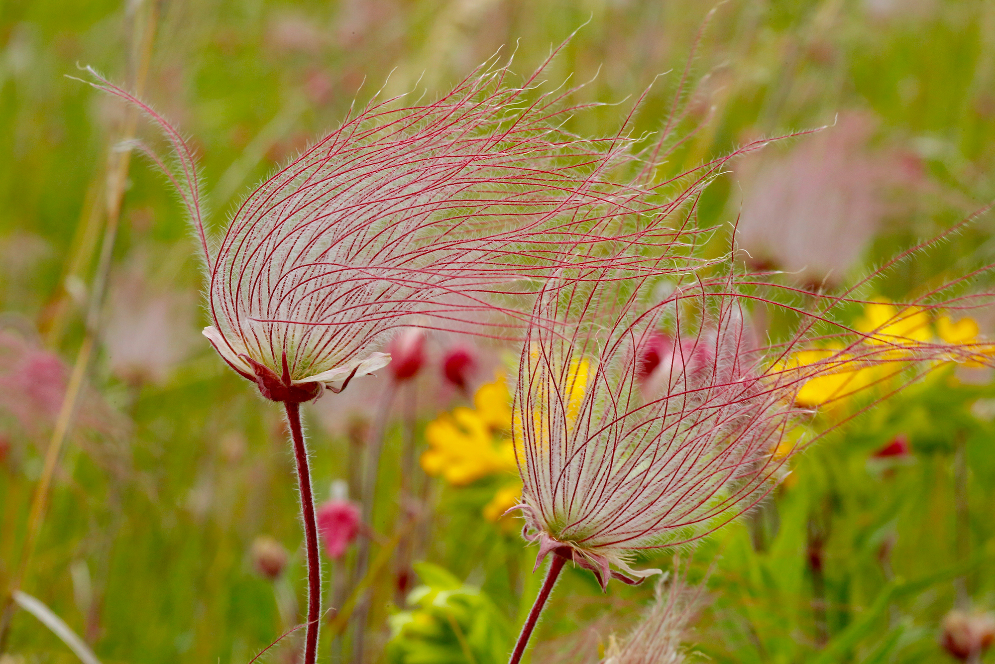 wispy pink threads of a plant blowing in the wind