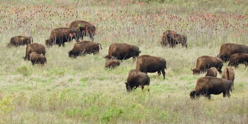 field of bison