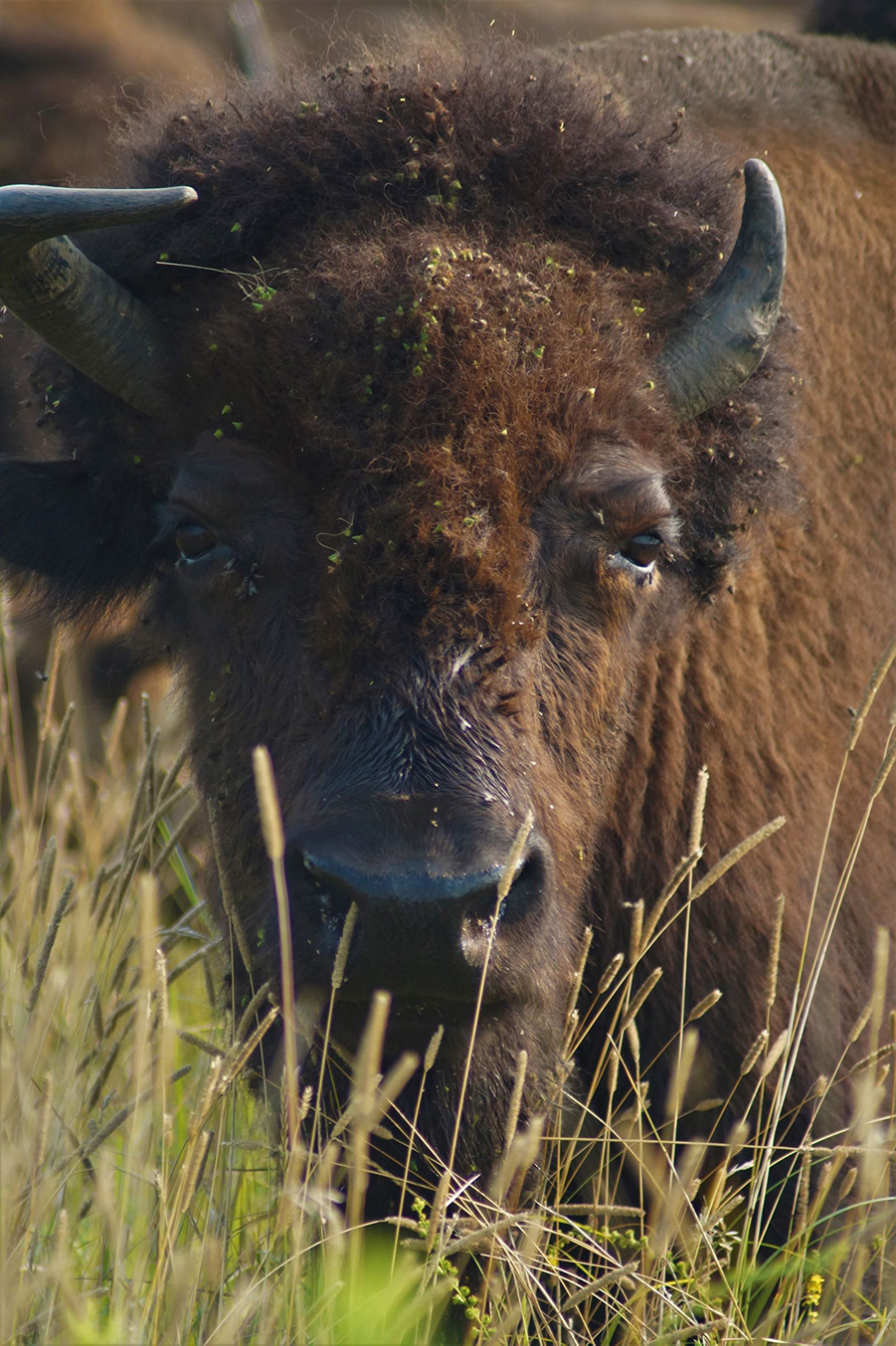 Bison looking at camera