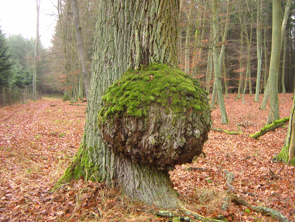 Tree trunk with a large, round nob at its base