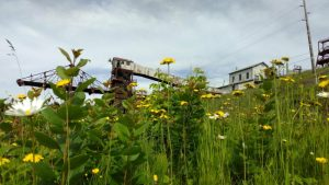 A field of wildflowers in the old stockpile area beneath the trestle at the Soudan Underground Mine