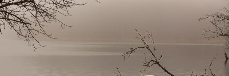 A pair of trumpeter swans enjoys a quiet and foggy morning