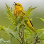 Yellow Warbler by Jon Wood