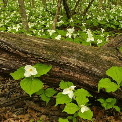 log with white flowers growing around it