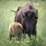 Bison mother and her calf at Minneopa State Park,