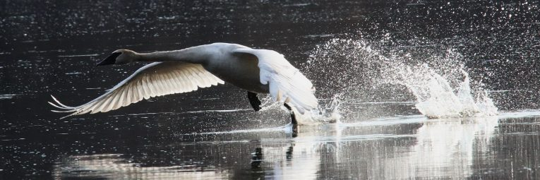 Early morning along the St. Croix River at Wild River State Park's Sunrise Landing. Backlit trumpeter swan--another Minnesota wildlife success story. by Chuck Kartak
