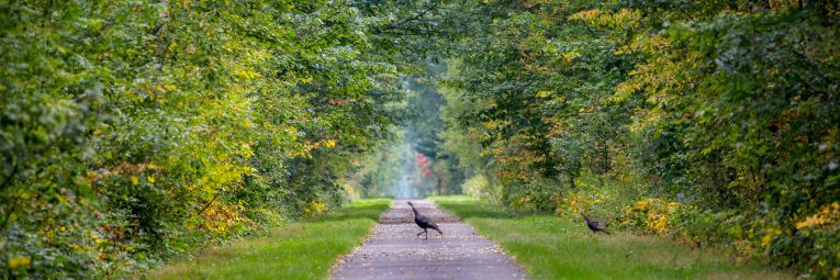 Turkeys cross the Munger Trail