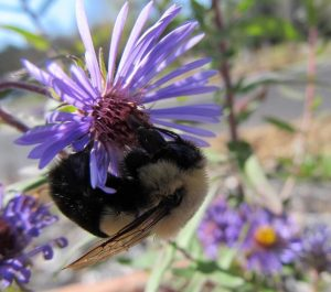 A bee pollinates a purple flower