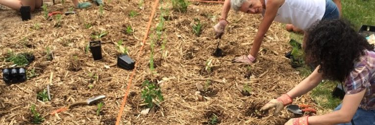 A number of folks plant prairie plants in a flower bed