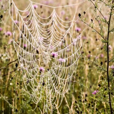 dewy spiderweb in field with pink flowers
