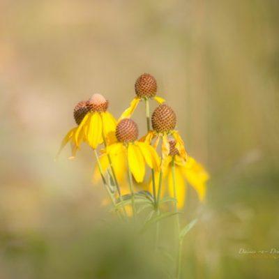 prairie coneflower