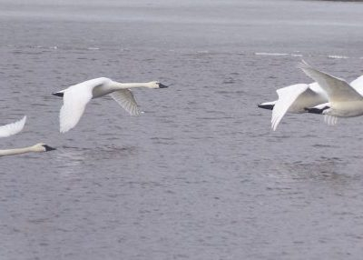 Trumpeter swans flying above lake