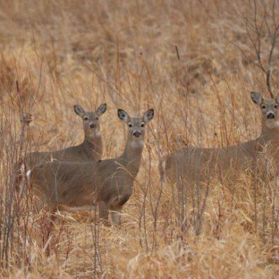 three deer in fall grasses