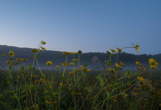 misty sunflowers in field