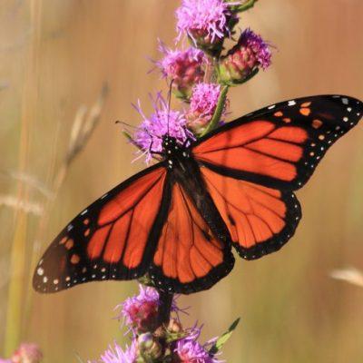Monarch on blazing star flower