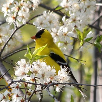 Goldfinch on white blossom tree