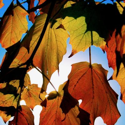 sun illuminating fall leaves