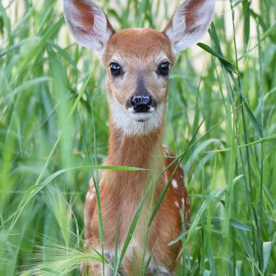 fawn in grass looking at camera