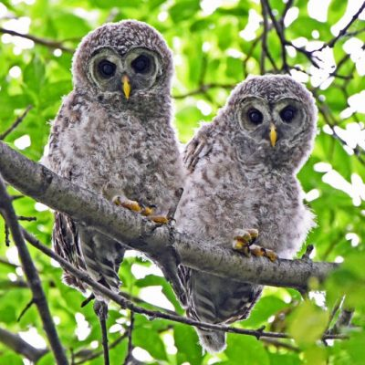 A curious pair of barred owlets