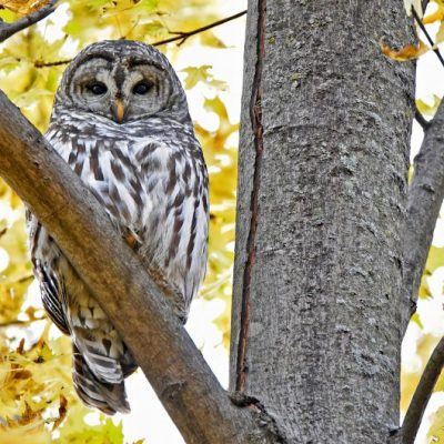 barred owl in maple tree with yellow leaves