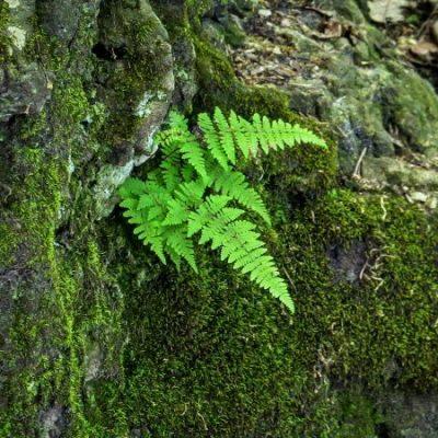 fern in rock