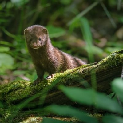Mink in the forest