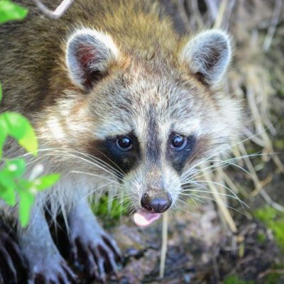 Raccoon with its tongue out